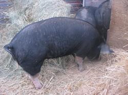 Range Fed Pork